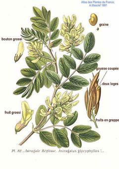 AstragalusGlycyphyllos
