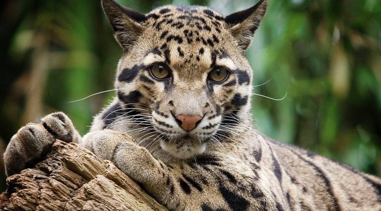 clouded_leopard-900-retina