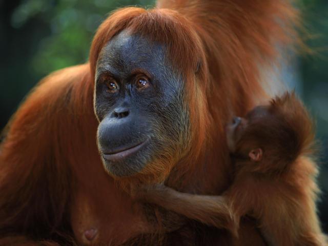 sumatran_orangutan_8-6-2012_hero_and_circle_image_xl_257636
