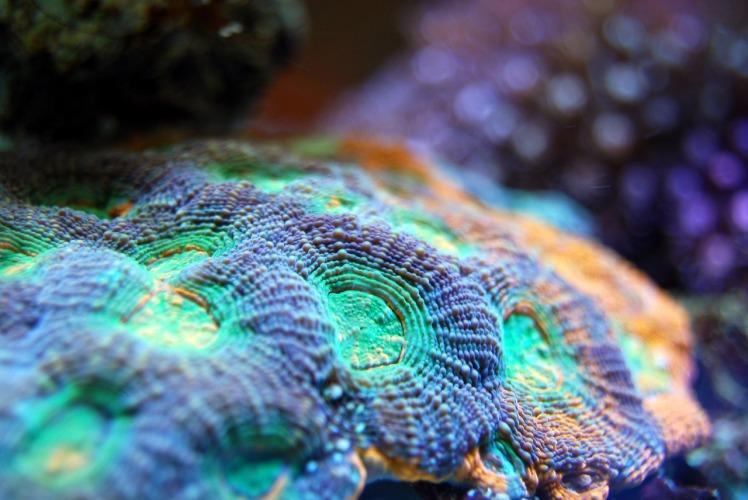 Biodivvy_Coral